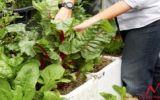 Làm thế nào để trồng rau trong thùng xốp?